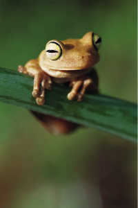 A yellow tree frog sits on a green plant in front of a blurred forest-like background.